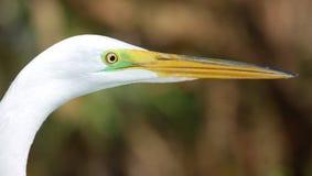 wielki egret profil Zdjęcia Stock