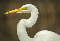 Wielki Egret, Sacramento obywatela rezerwat dzikiej przyrody Fotografia Royalty Free