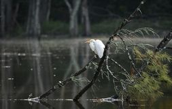 Wielki Egret umieszczał na spadać drzewie nad jeziorem, Walton okręg administracyjny, Gruzja usa obrazy royalty free