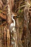 Wielki Egret w błota parku narodowym (Ardea albumy) Zdjęcie Stock
