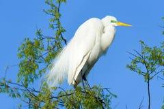 Wielki Egret w dzikim Obrazy Royalty Free
