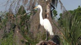 Wielki Egret w Floryda bagnach zbiory