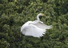 Wielki Egret w locie od treetop Fotografia Stock
