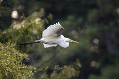 Wielki Egret w locie, Walton okręgu administracyjnego, Gruzja usa fotografia stock
