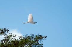Wielki egret w locie z gałązką Fotografia Stock