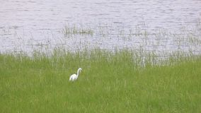 Wielki Egret w Teksas zbiory