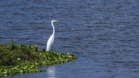 Wielki egret w Thabbowa sanktuarium, Puttalam, Sri Lanka Fotografia Stock