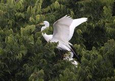 Wielki Egret w treetop z jej potomstwami Obraz Stock