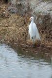 Wielki egret w upierzeniu zdjęcia stock