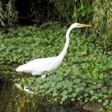 Wielki Egret Watuje w jeziorze Zdjęcie Royalty Free