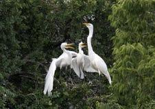 Wielki Egret z głodnymi dziećmi zdjęcia royalty free