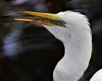 Wielki Egret z ryba w belfrze Obraz Stock