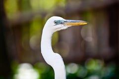 Wielki Egret zbliżenie Obrazy Stock