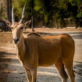 Wielki eland Zdjęcia Stock