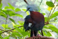 Wielki extant gołąb, Wiktoria koronował gołębia, Goura Victoria Błękitny barwiony ptak z czerwonym okiem i pięknym wachlarzowatym Obrazy Stock