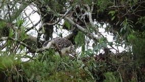 Wielki Filipiński orła gniazdować zdjęcie wideo