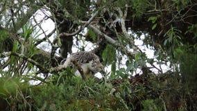 Wielki Filipiński orła gniazdować zbiory