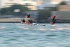 Wielki flaminga latanie Zdjęcie Royalty Free