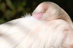 Wielki flaminga Phoenicopterus roseus Fotografia Stock