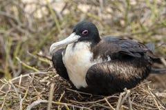 Wielki Frigatebird w Galapagos wyspach, Ekwador zdjęcia royalty free
