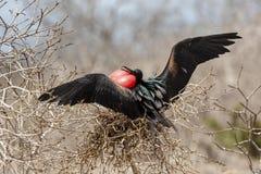Wielki Frigatebird w Galapagos wyspach, Ekwador fotografia stock