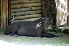 Wielki, gęsty, szary tapir, kłama i odpoczynki na plecy i siedzą jego przyjaciela, chested wrony zdjęcia stock