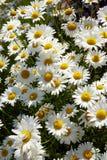 Wielki grono świeże białe oxeye stokrotki zdjęcia stock