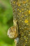 Wielki gronowy ślimaczek Zdjęcie Royalty Free