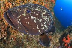 wielki grouper Obrazy Stock