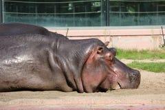 Wielki hipopotam Fotografia Stock