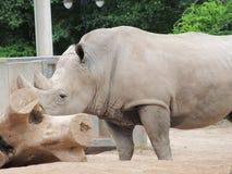 Wielki i bardzo silny nosorożec odprowadzenie w zoo w Erfurt Zdjęcie Royalty Free
