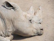Wielki i bardzo silny nosorożec odprowadzenie w zoo w Erfurt Zdjęcia Stock