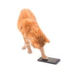 Wielki imbirowy tabby kot bawić się na mądrze telefonie obrazy stock