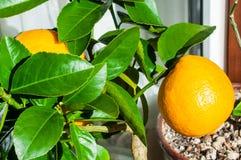 Wielki jaskrawy żółty cytryny obwieszenie na gałąź z zielonymi liśćmi Zdjęcie Stock