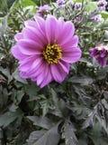 Wielki jaskrawy menchia kwiat Zdjęcia Stock