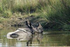 Wielki jeden uzbrajać w rogi nosorożec w Bardia, Nepal Zdjęcia Royalty Free