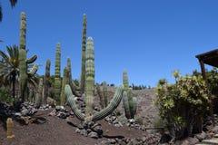 Wielki kaktus, łaciński: Pachycereus pringlei, Meksyk Zdjęcie Royalty Free