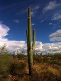 wielki kaktus zdjęcie royalty free