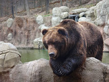 Wielki Kamchatka brown niedźwiedź Obraz Royalty Free