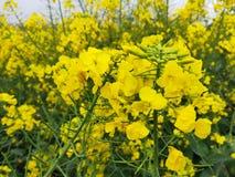 Wielki kawałek rapeseed kwiaty zdjęcia stock