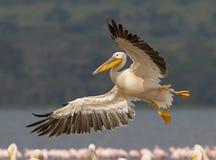 wielki Kenya pelikana biel Obraz Royalty Free