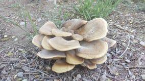 Wielki Kinkietowy grzyb Makro- obraz stock