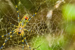 Wielki kolor żółty i czarny ogrodowy pająk Zdjęcie Stock