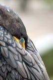 Wielki kormoran Obraz Royalty Free