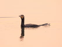 Wielki kormoran Obrazy Royalty Free