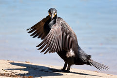 Wielki kormoran - Phalacrocorax carbo Zdjęcia Royalty Free