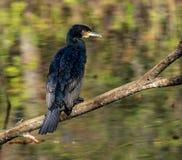 Wielki kormoran, Phalacrocorax carbo suszy jego upierza zdjęcie stock