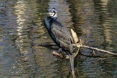 Wielki kormoran, Phalacrocorax carbo suszy jego upierza obrazy stock