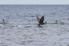 Wielki kormoran, Phalacrocorax carbo, zdejmował od wody, zakończenie portret z defocused tłem fotografia royalty free