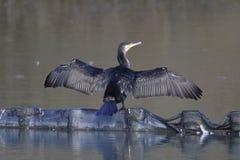 Wielki kormoran suszy swój skrzydła w ranku zdjęcia royalty free